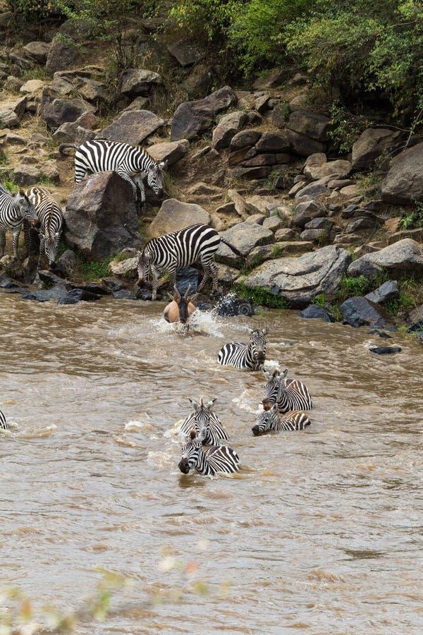 穿过玛拉河的斑马在肯尼亚 马塞语玛拉,非洲 图库摄影