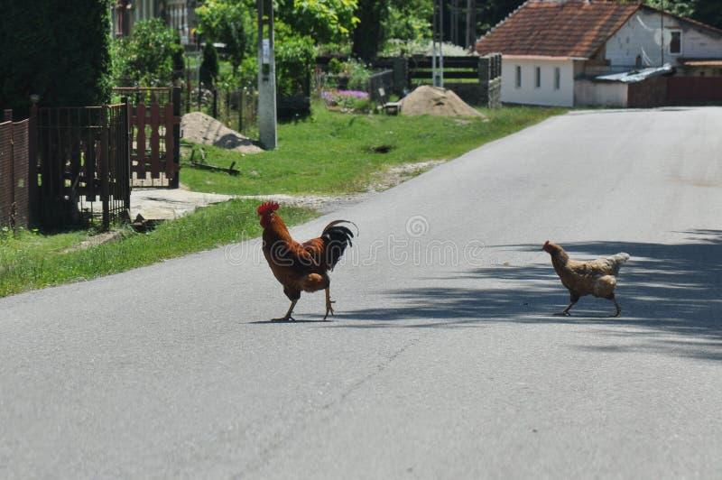 穿过街道的雄鸡和母鸡 免版税库存图片