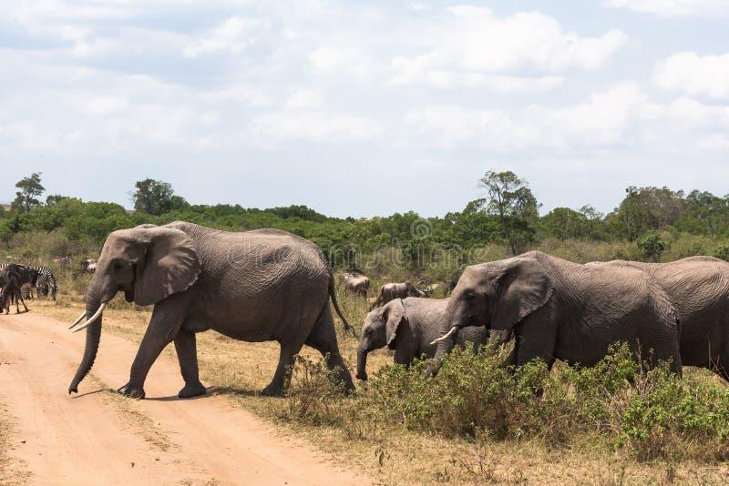 穿过路的三头大象 肯尼亚mara马塞语 免版税库存照片