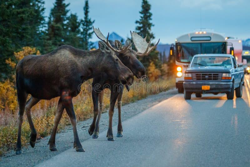 穿过路的两头麋公牛在Denali NP 免版税库存图片