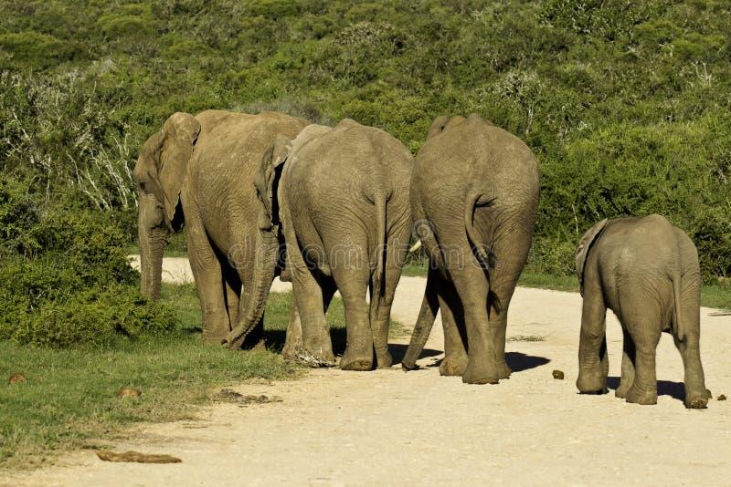 穿过路的大象家庭 免版税库存图片