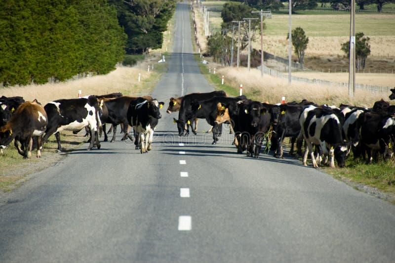 穿过路的母牛 免版税库存照片