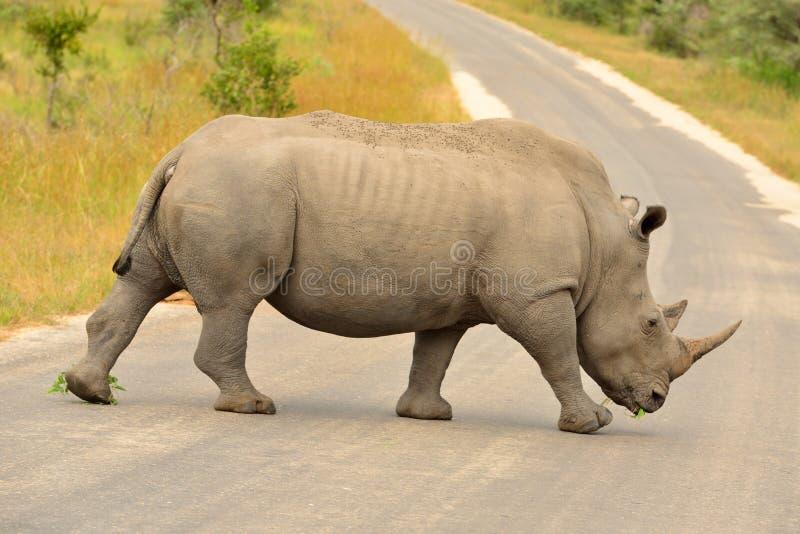 穿过路的白犀牛 库存照片