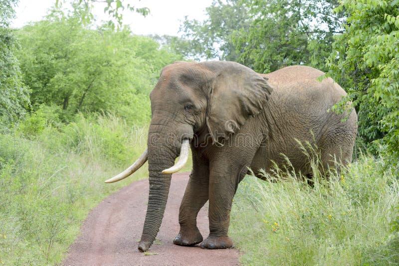 穿过路的非洲大象 库存图片