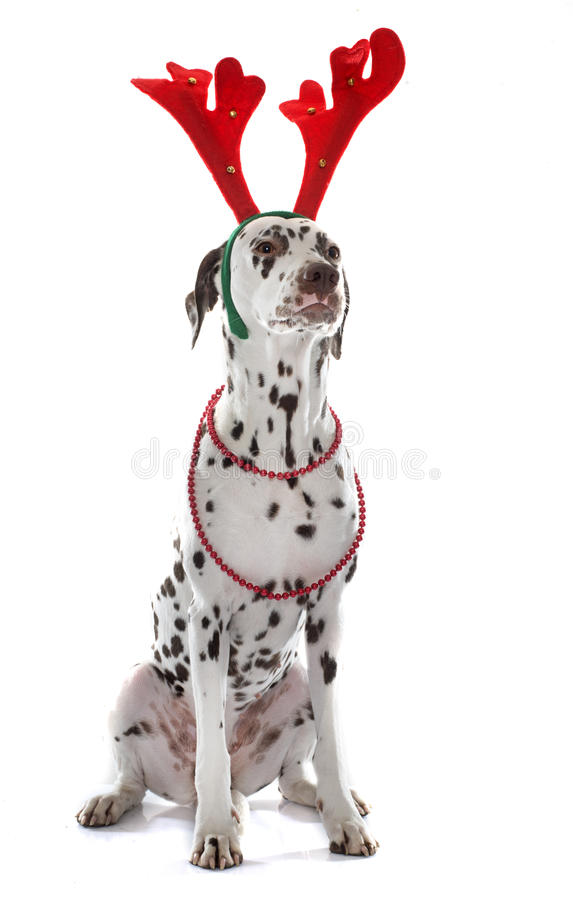 穿戴的女性达尔马提亚狗 库存图片