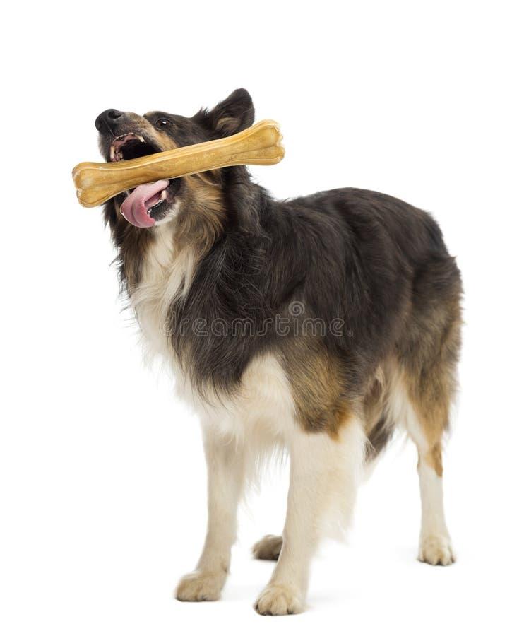 突出和嚼骨头的博德牧羊犬 免版税图库摄影