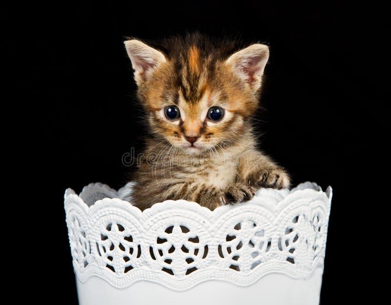 突出在一个空白容器的小猫 库存图片