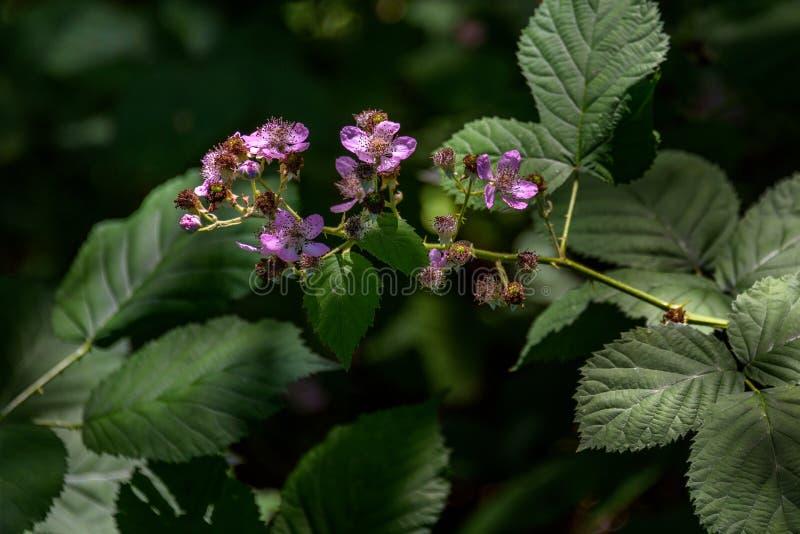 突出桃红色黑莓植物绽放的太阳射线在被遮蔽的森林 库存图片