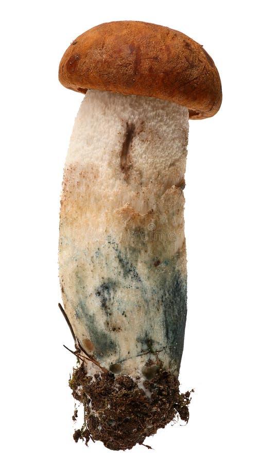 突出白杨木背景牛肝菌蕈类盖帽特写镜头充分蘑菇一个橙色的照片空白 森林蘑菇 免版税库存照片