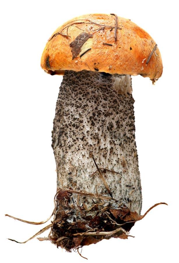 突出白杨木背景牛肝菌蕈类盖帽特写镜头充分蘑菇一个橙色的照片空白 被隔绝的森林蘑菇  免版税库存图片