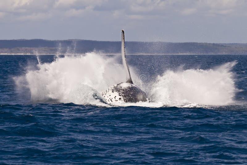 突破口驼背飞溅鲸鱼 免版税库存照片