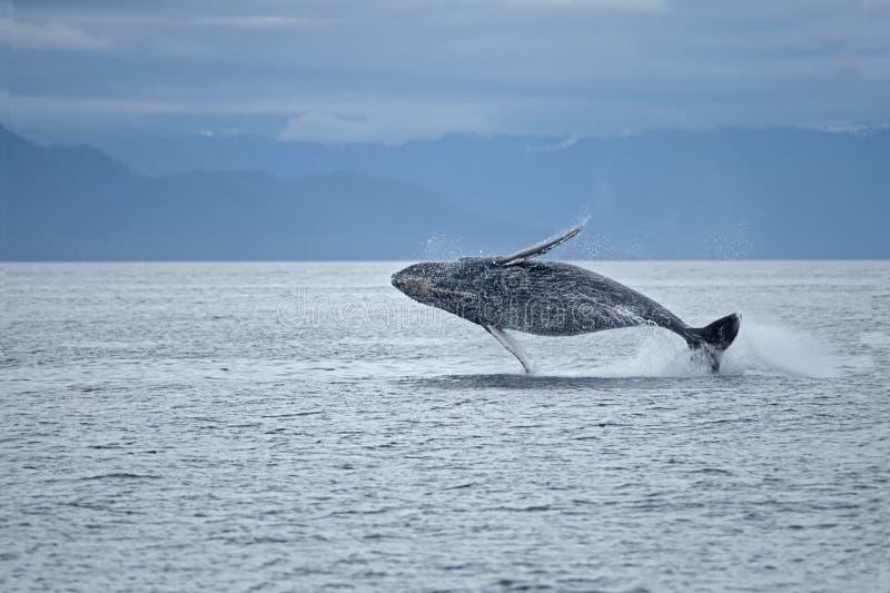 突破口驼背鲸 库存照片