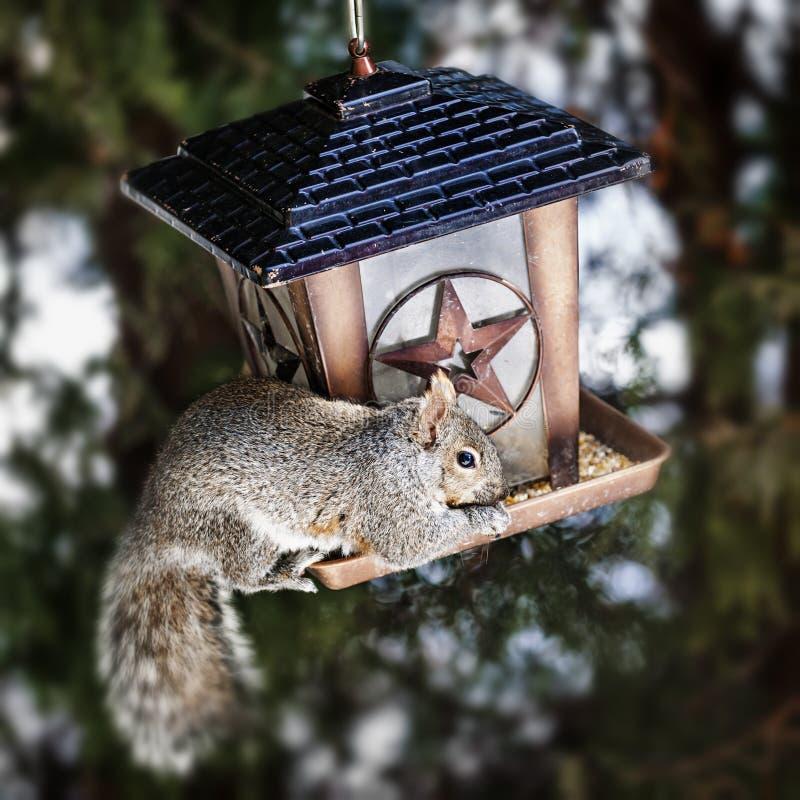 Download 窃取从鸟饲养者的灰鼠 库存图片. 图片 包括有 小鸟, 紧贴, 贪婪, 淘气, 种子, 茴香, 开会, 灰色 - 30331041