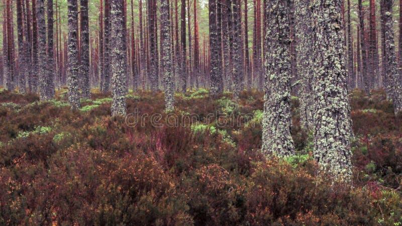 窒息森林地板的凯恩戈姆山脉石南花 库存图片