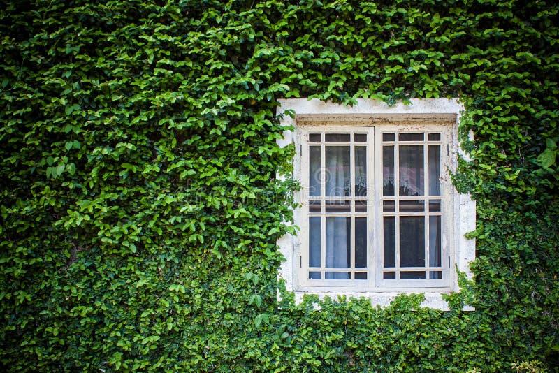 窗口和绿色常春藤 免版税库存照片