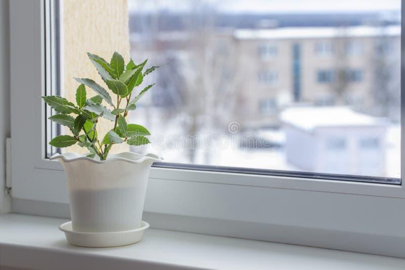 窗台的绿色植物在冬天 免版税库存照片