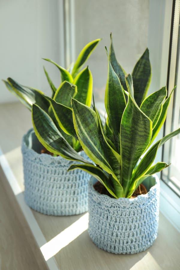 窗台的装饰百合科植物植物 库存照片
