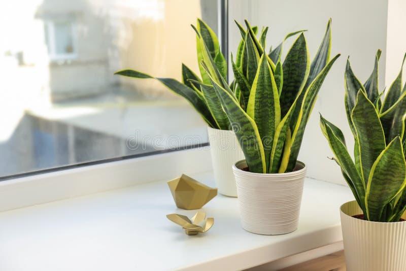 窗台的装饰百合科植物植物 免版税库存照片
