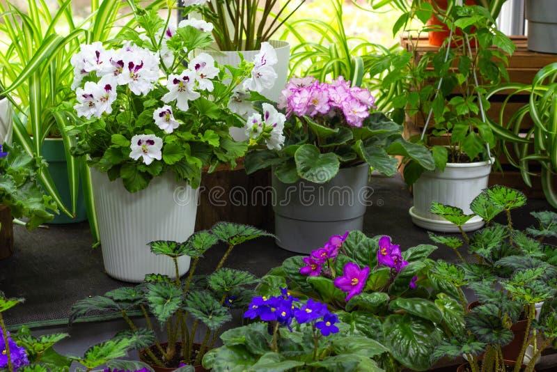 窗台绿色植物和室内花的装饰和开花的室内植物 库存照片