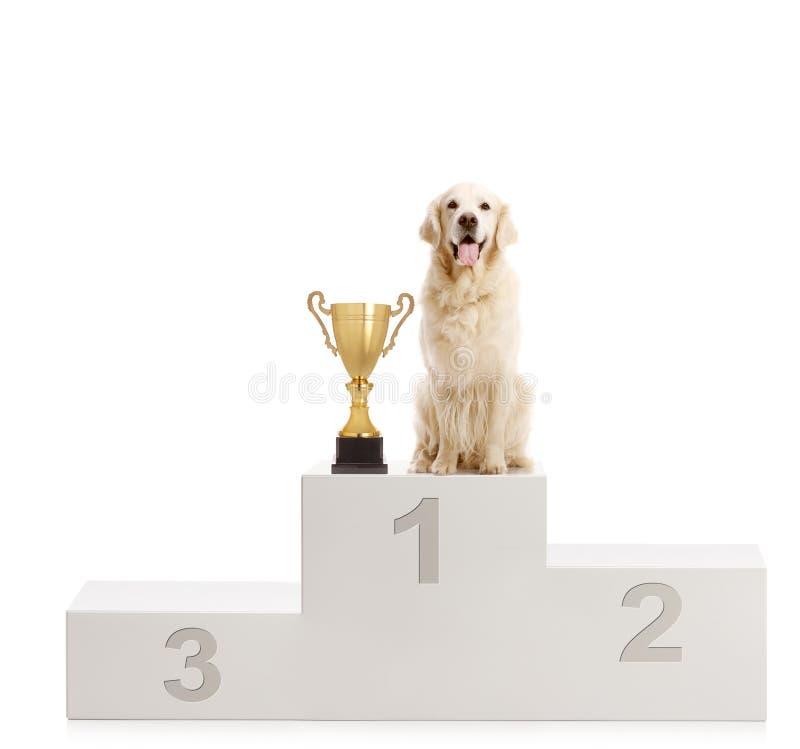 站立与在优胜者` s垫座的一件战利品的拉布拉多猎犬狗 免版税库存图片