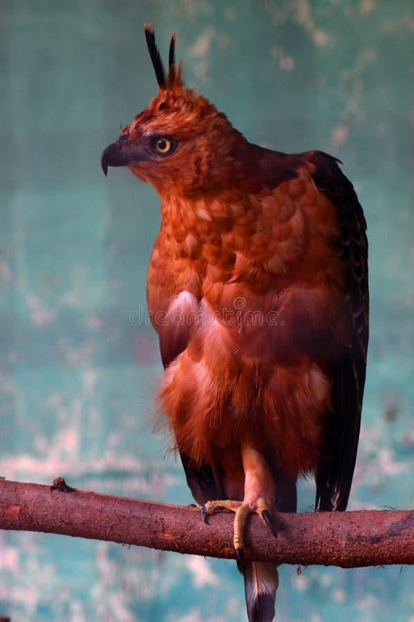 站立与在日志的一条腿的棕色老鹰 免版税库存照片