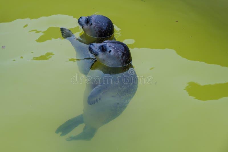 站立两年轻的封印挺直在清楚的绿色水中 免版税图库摄影