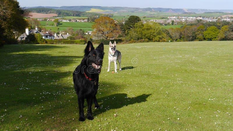 站立两条德国牧羊犬的狗机敏在领域 库存图片