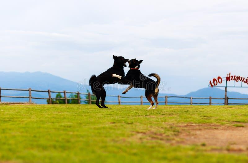 站立两条腿和拥抱的两条狗在草f 免版税库存照片