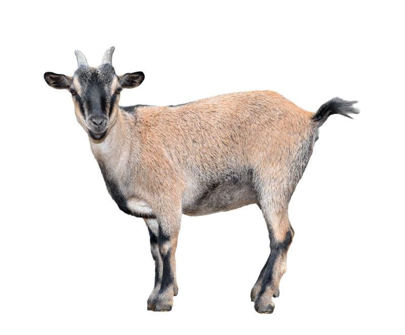 站立全长的山羊隔绝在白色 滑稽的母山羊关闭 动物农场横向许多sheeeps夏天 免版税库存照片