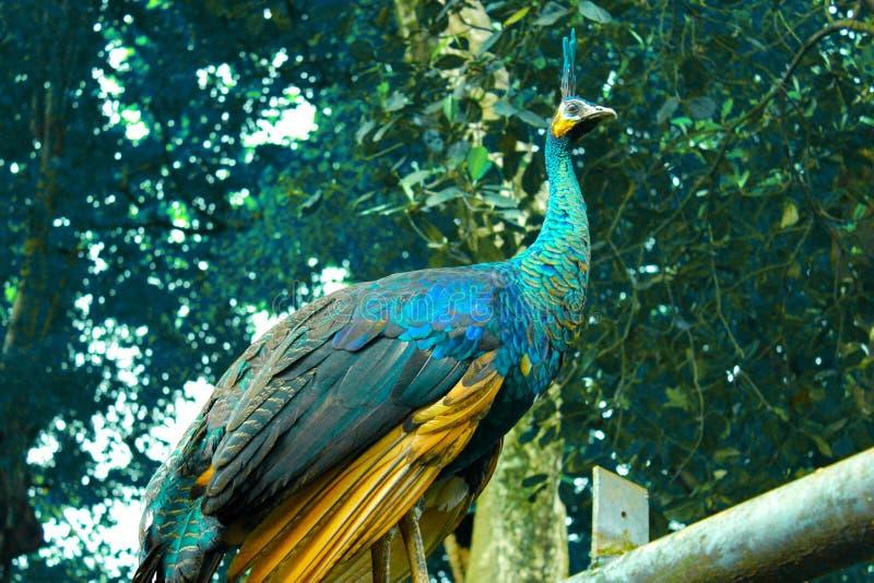站立印度尼西亚TMII的孔雀 库存图片