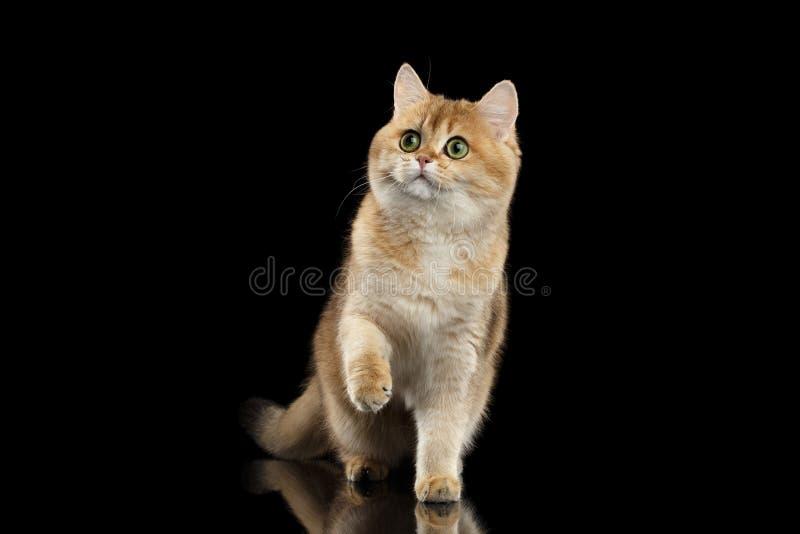 站立和举爪子的毛茸的英国猫金黄鼠,黑 库存照片
