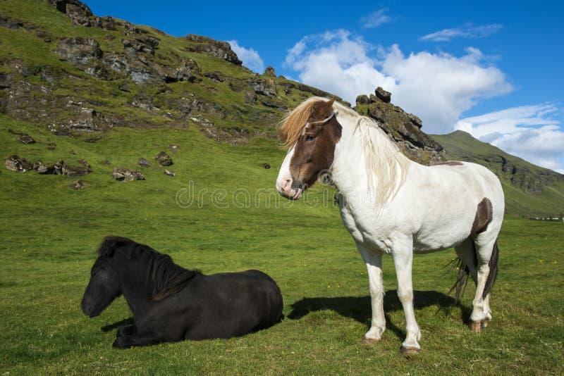 站立和放置冰岛马在与蓝天和青山的自然本底 免版税库存图片