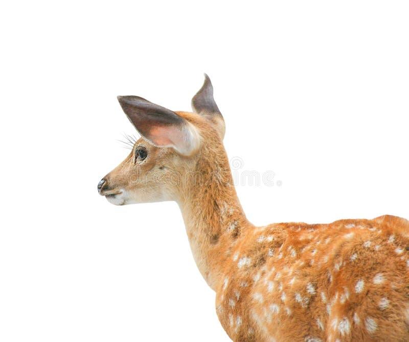 站立和看在与裁减路线的白色背景的幼小鹿 库存图片