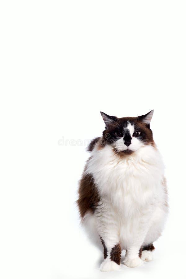 站立和看照相机的衣衫褴褛的儿童猫 免版税库存照片
