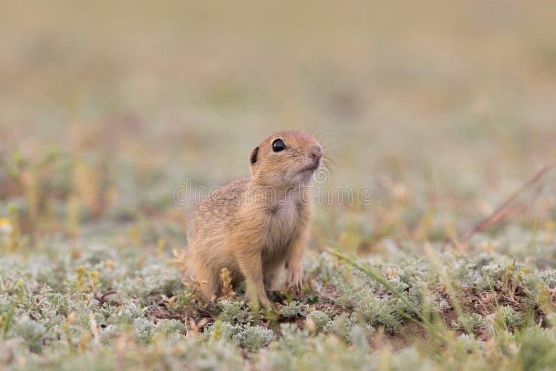 站立和观看在绿草的领域的逗人喜爱的欧洲地松鼠 免版税库存照片