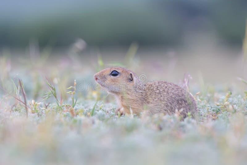 站立和观看在绿草的领域的逗人喜爱的欧洲地松鼠 库存照片