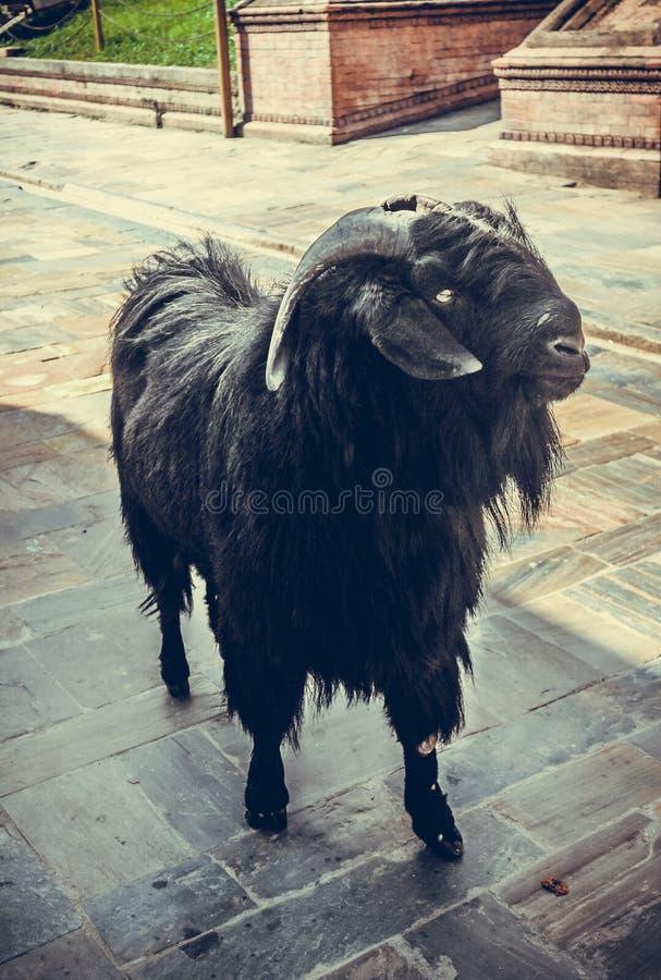 站立在一个修道院附近的黑公山羊在加德满都,尼泊尔 免版税库存照片