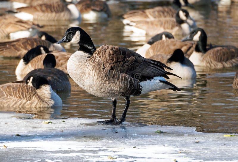 站立在一个冻湖的加拿大鹅 图库摄影