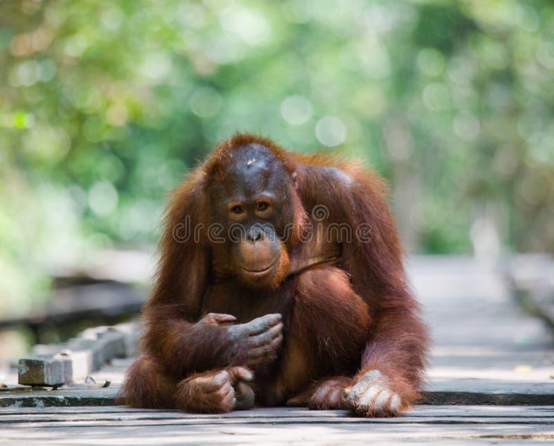 站立在一个木平台的猩猩在密林 印度尼西亚 加里曼丹婆罗洲海岛  库存图片