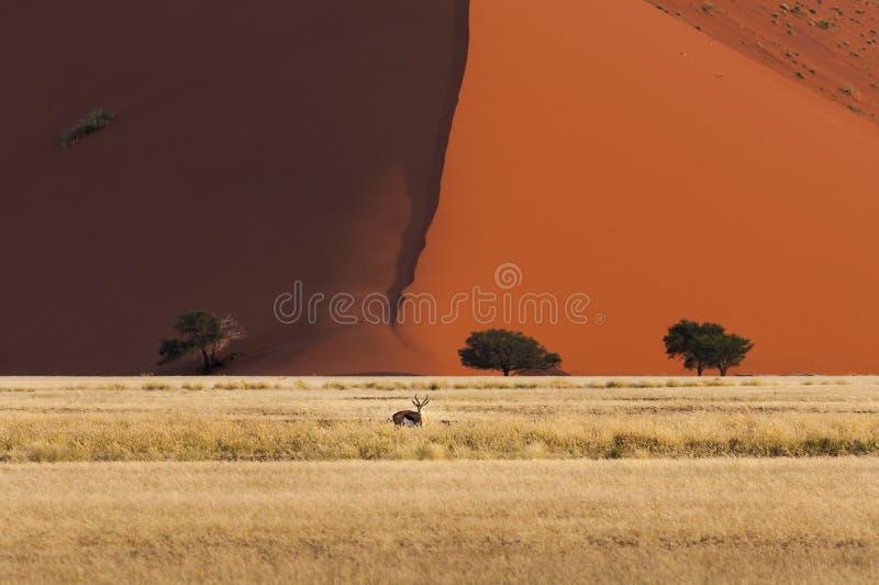 站立在一个红色沙丘前面的跳羚在Sossusvlei,纳米比亚 免版税图库摄影