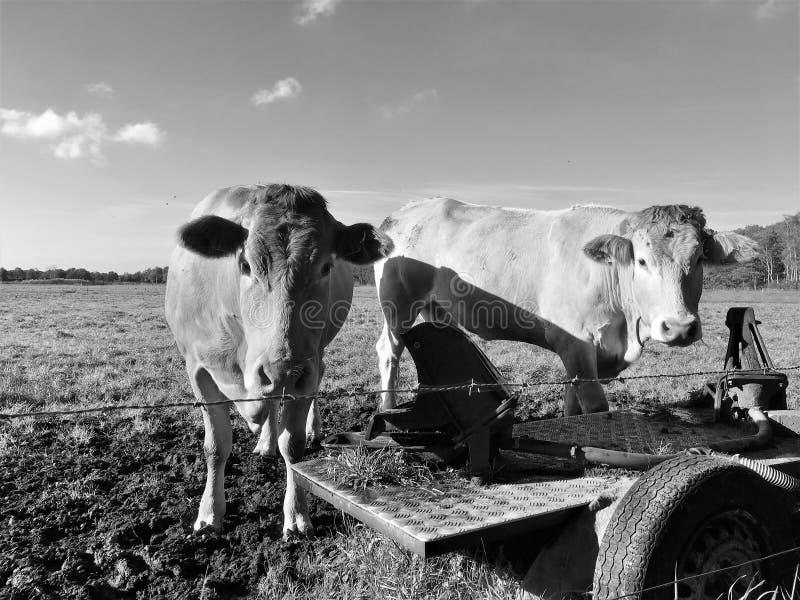 站立在一个领域的2头母牛在荷兰欧洲 免版税库存图片
