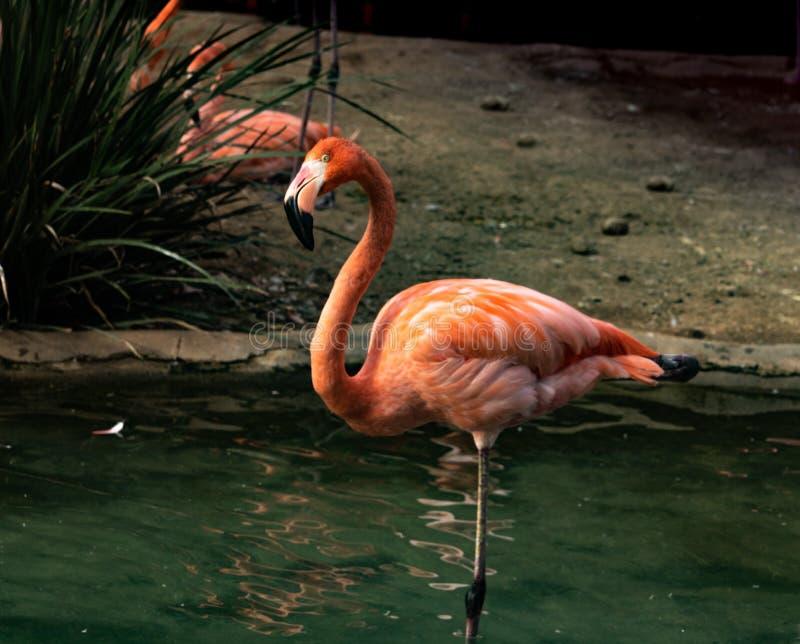 站立在一条腿的一群明亮的五颜六色的火鸟的唯一特写镜头在看与被掀动的头的池塘照相机 免版税库存图片