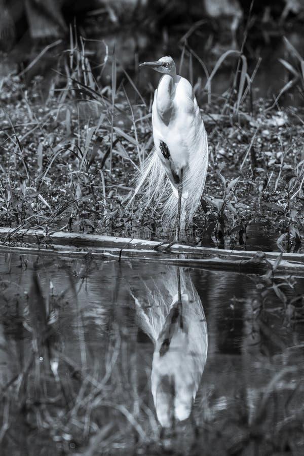 站立在一条腿的伟大的白鹭-黑白 免版税库存照片