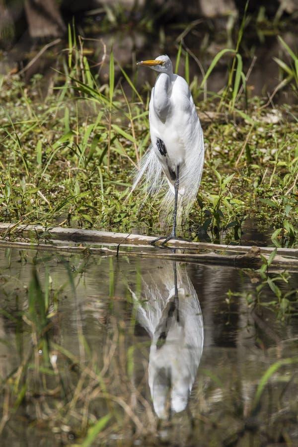 站立在一条腿的巨大白鹭水反射 免版税库存照片