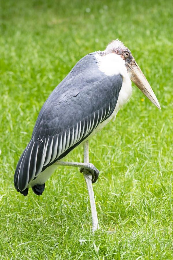 站立在一条腿,净化剂鸟的鹳storck,住在南非 免版税图库摄影