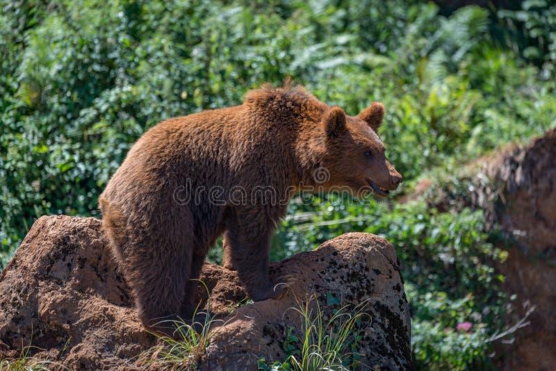 站立在下木的岩石的棕熊 免版税库存照片