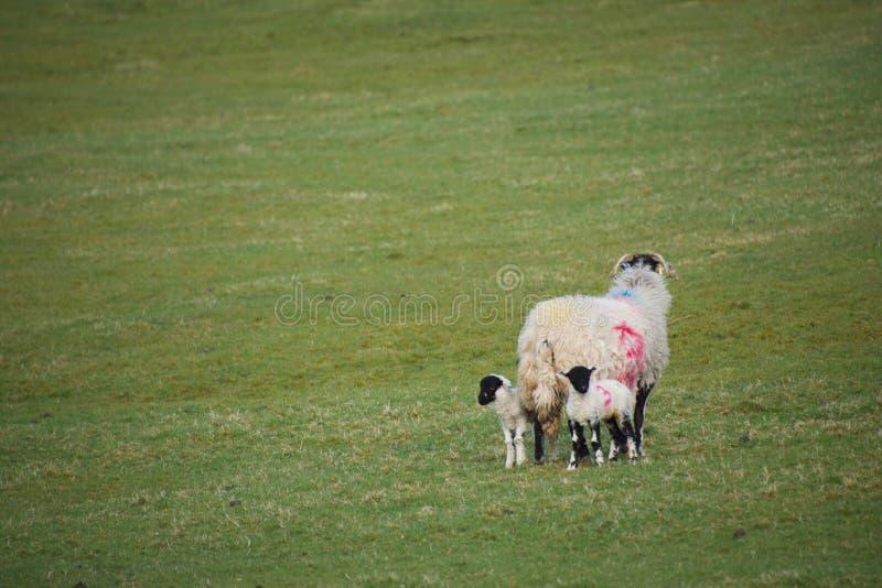 站立在与两只羊羔的一个领域的母亲绵羊 库存图片