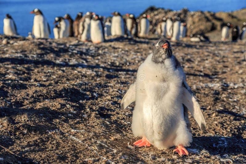 站立在与他的絮凝物的前面的滑稽的毛茸的gentoo企鹅小鸡 免版税图库摄影