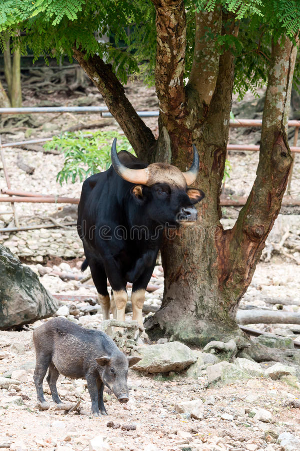 站立在与公猪的大树下的狂放的公牛gaur 免版税库存图片
