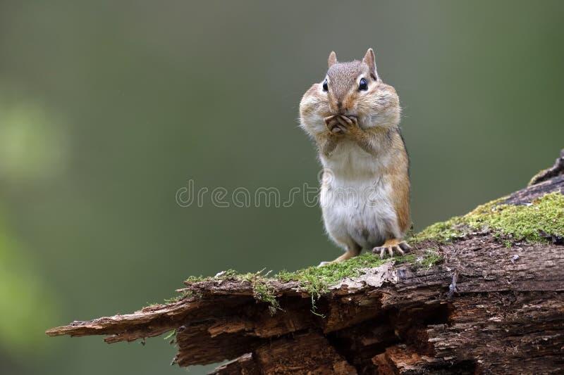 站立在与它的吱吱叫声囊的一本生苔日志的东部花栗鼠 库存图片